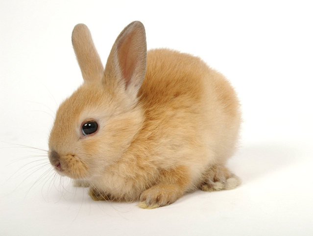 fluffy ginger bunny rabbit